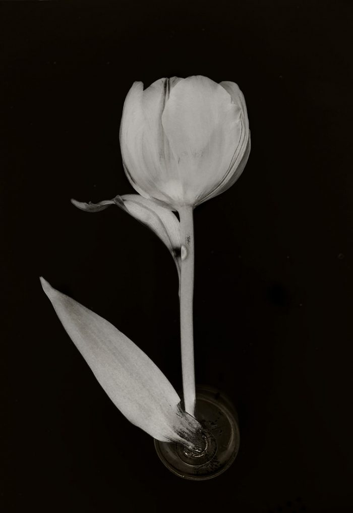 Flower Tulip 9 2017