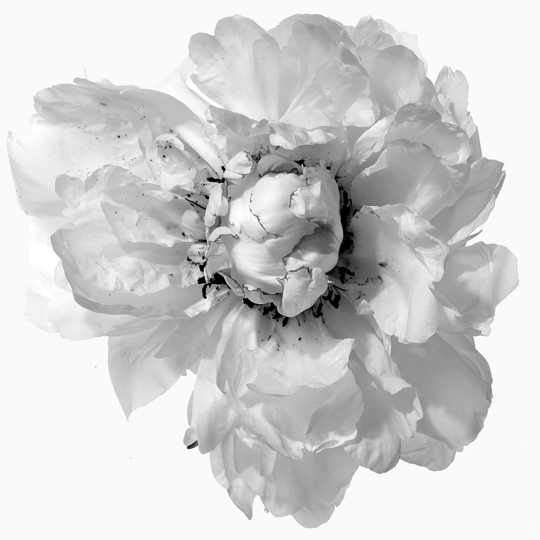 White Peony 6 bw, 2017