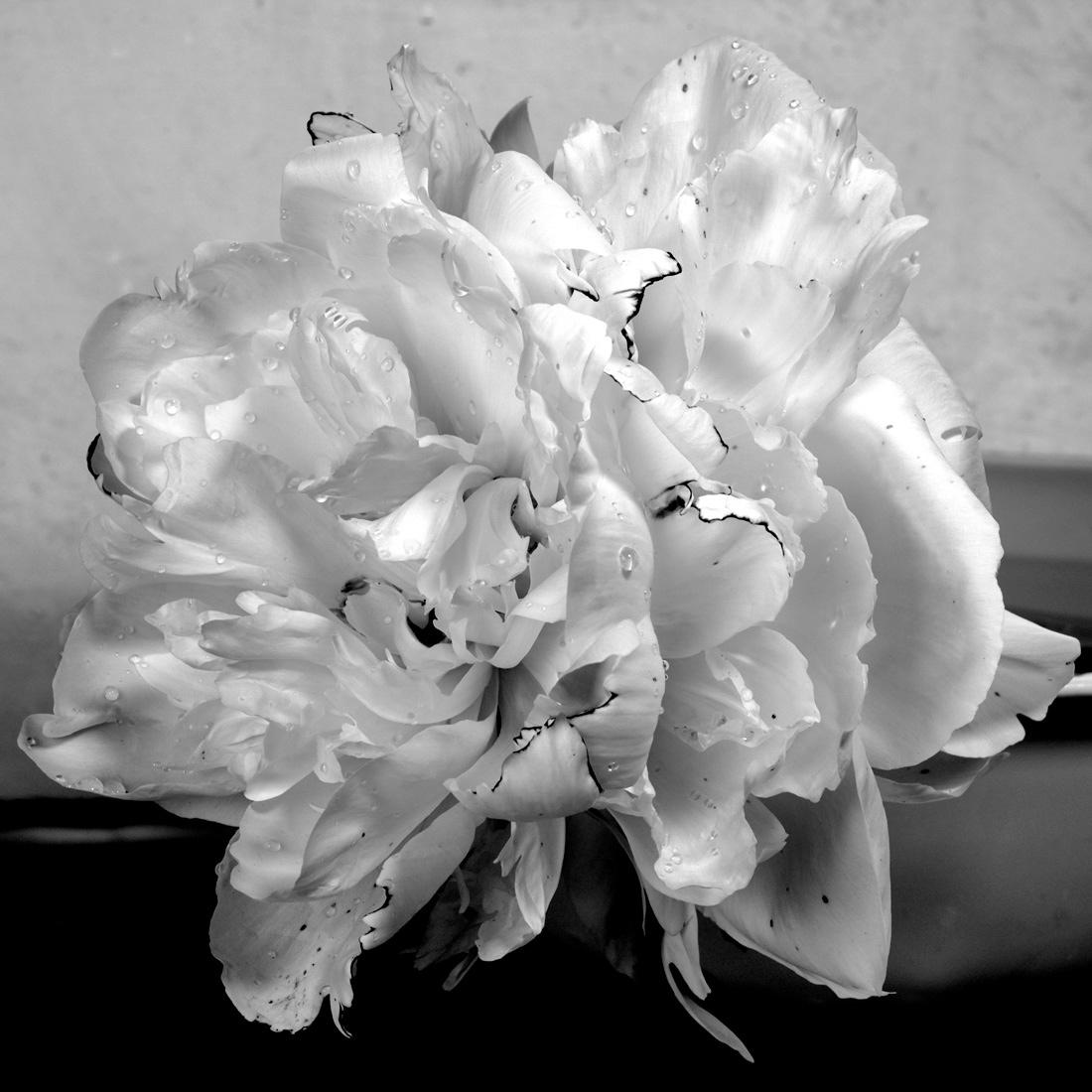 White Peony 5, 2018