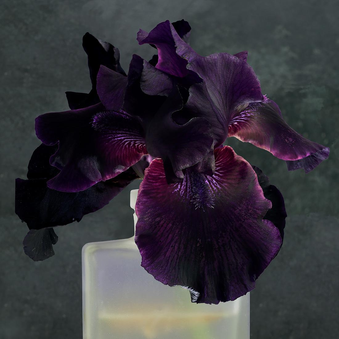 Purple-Iris-2-2017