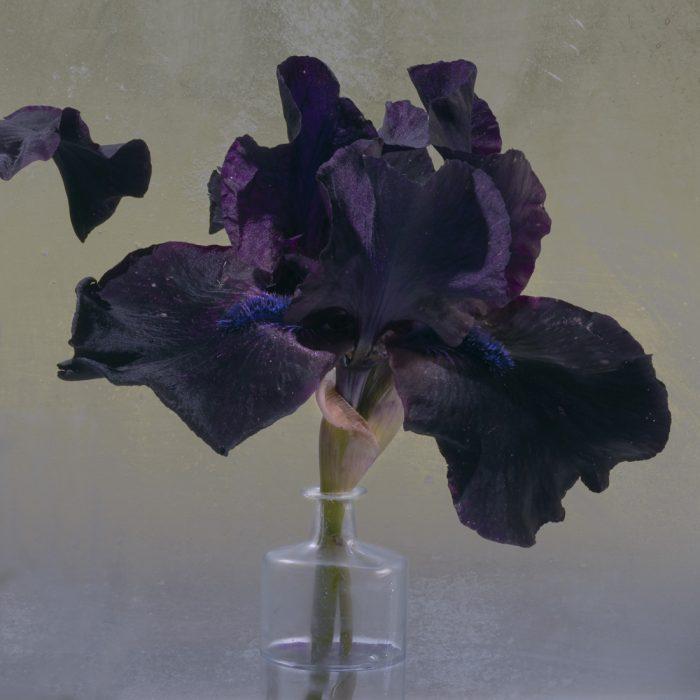 Purple Iris 3 2018