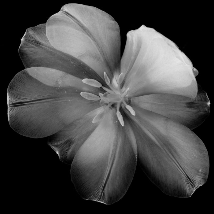 Tulip 8bw inv