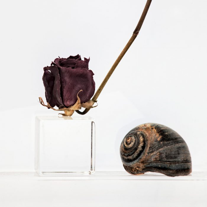 Dried Rose and Shell, 2014
