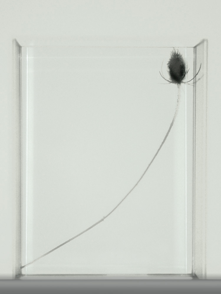 Shadow-Thistle-in-Box 3 2012-17