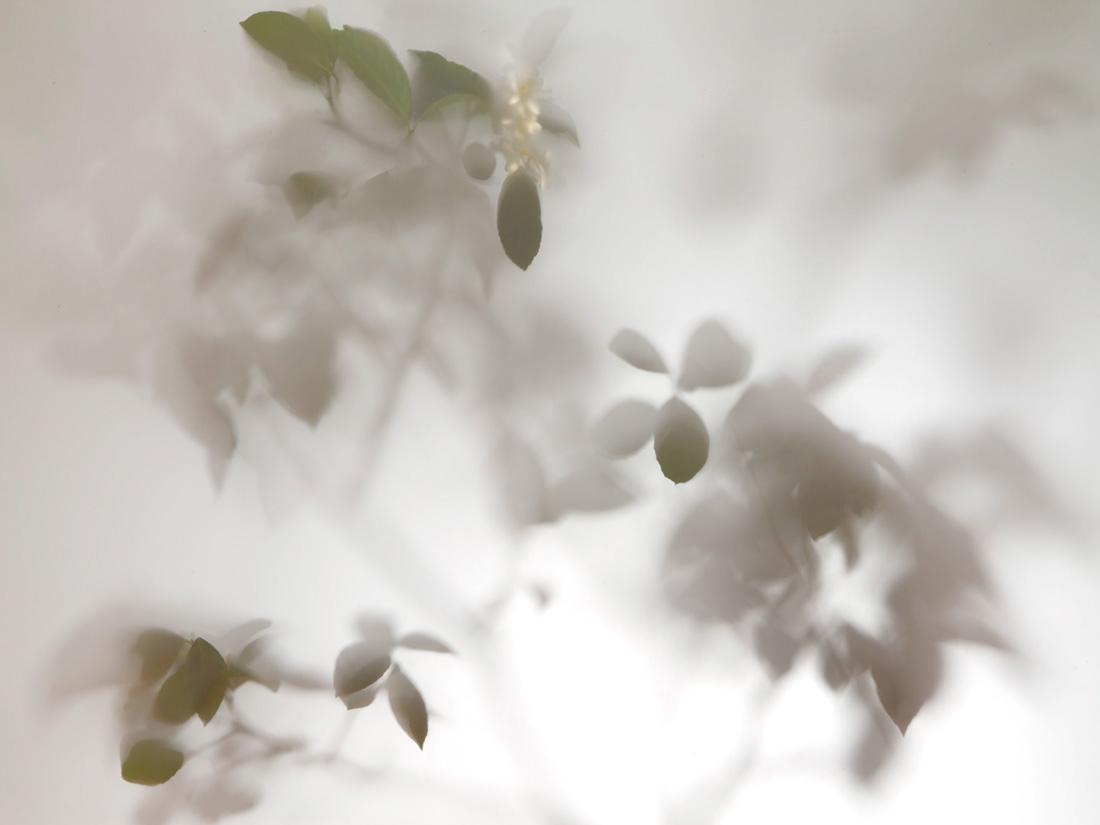 Shadows-Lemon-Tree-004-2012